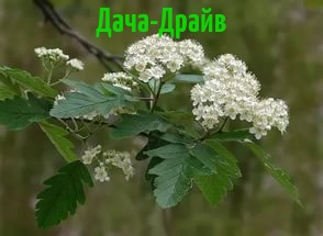борярышник цветы белые