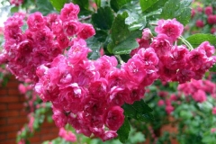 боярышник цветы розовые
