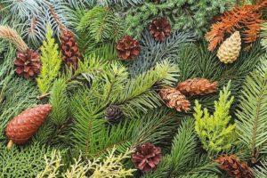 Хвойные вечнозеленые деревья