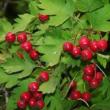 Боярышник плоды - обладают лечебными свойствами