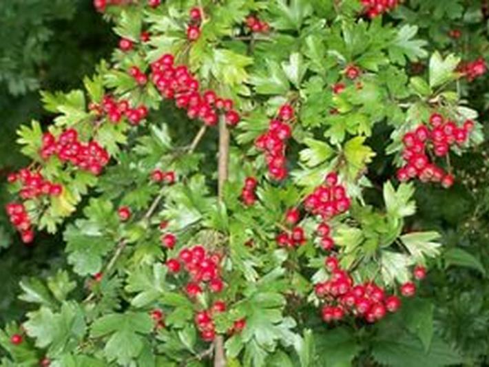 Плоды боярышника содержат много витаминов и микроэлементов