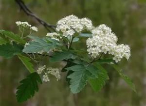 Боярышник цветы белые