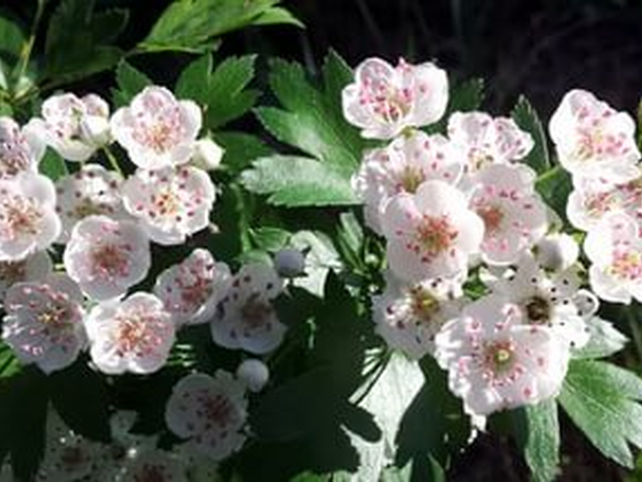 боярышник цветы белые лекарственные растения