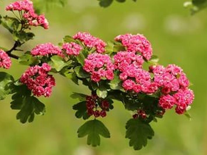 Боярышник розовые цветы