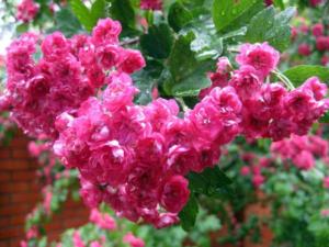 боярышник цветы розовые 2