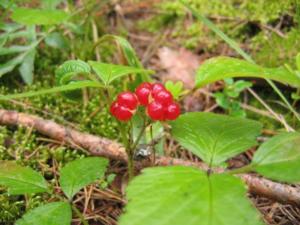 Костяника - ягода имеет лечебные свойства