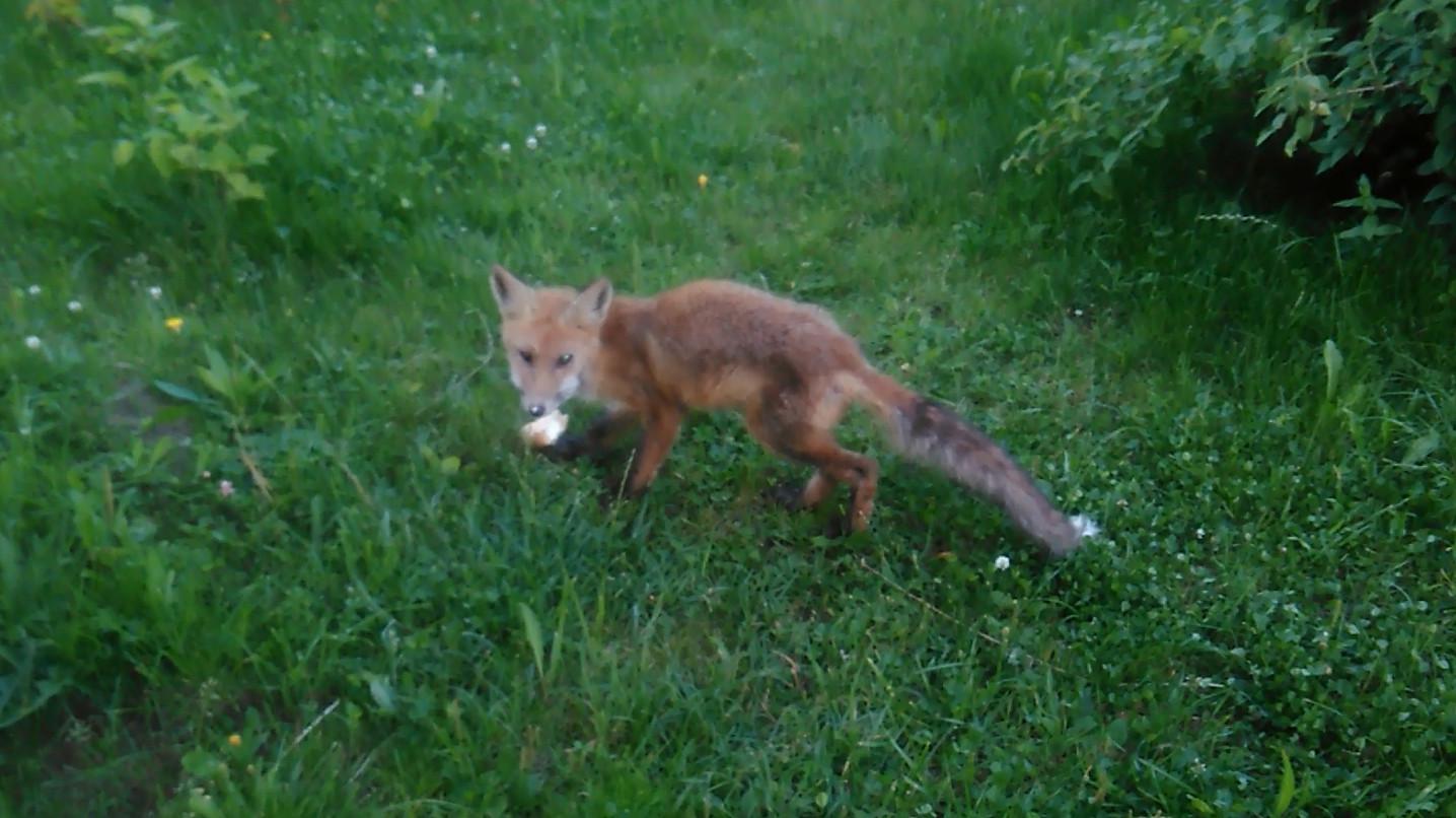 Лиса пришла на садовый участок