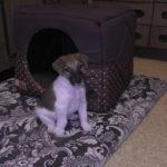 Кормление щенка фокстерьера 1 месяц, 1 неделя